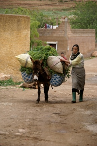 Woman with mule heads to market